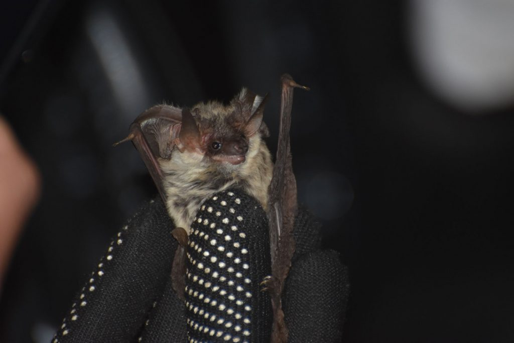 Pipistrello Orecchio Grigio del Vesuvio   Parco Nazionale del Vesuvio